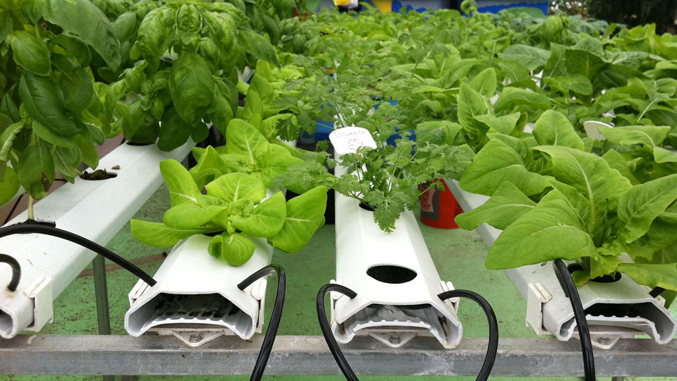 the-four-most-common-errors-hydroponic-growers-make