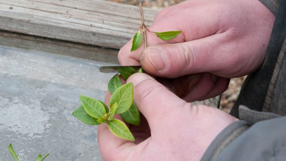 types-of-cuttings-for-cloning-plants
