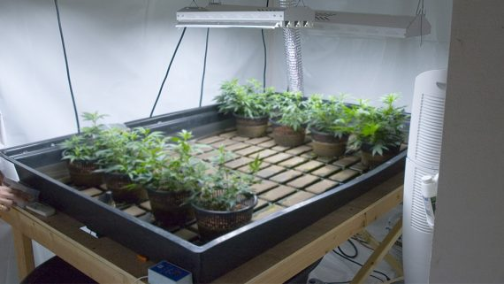 How to make a clone using cloning powder for Indoor gardening nutrients