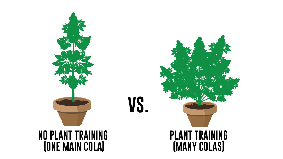 By manipulating how your plants grow, you can increase your yields by as much as 40% as compared to not training your plants
