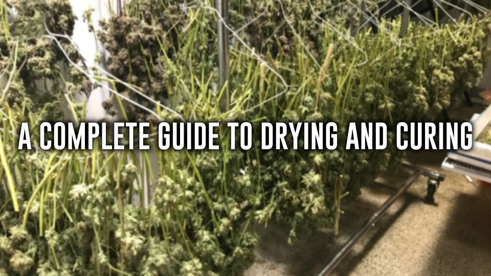 drying-curing-buds