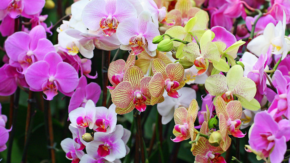 Plant Care: Hydroponic Feed Schedule for Growing Orchids Indoor