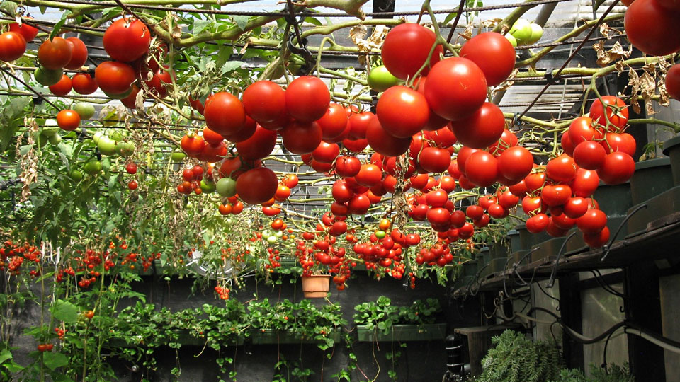 Terrific Tomatoes Grown Hydroponically Or In Soil
