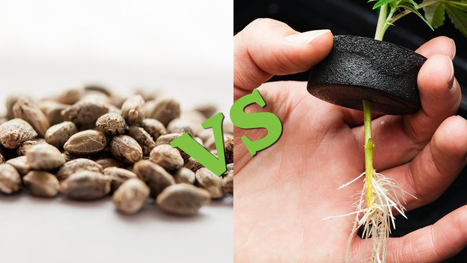 clones_vs_seeds_hydrponics