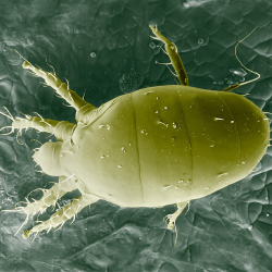 How to identify Broad Mites