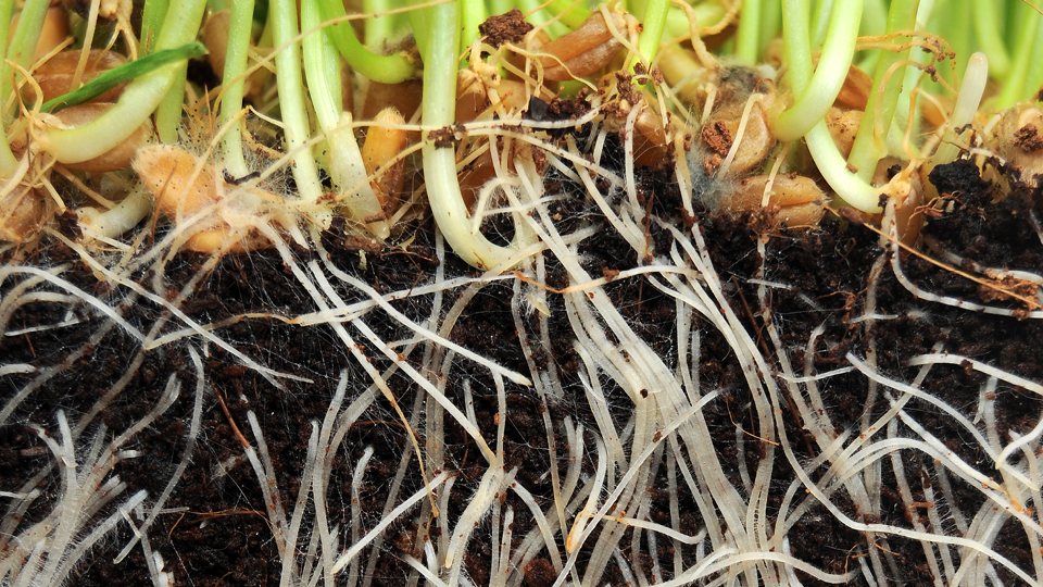 healthy-plant-roots