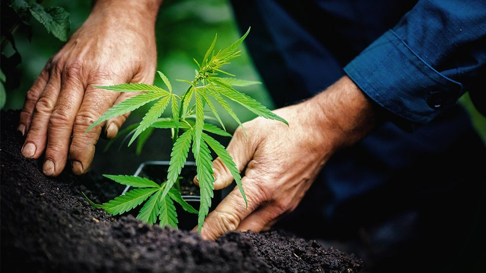 growing-cannabis-in-soil
